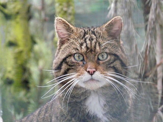Scottish wildcat. Pic credit: Sylvia Duckworth