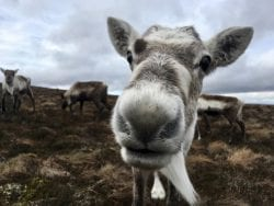 The reindeer of the Cairngorms.
